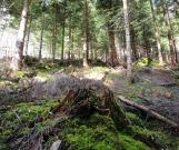 Degagement-de-la-plantation - Parcelle Forestière Haute-Savoie