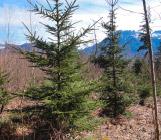 Replantation parcelle forestière Haute-Savoie